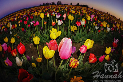 Close-up of colorful tulips during twilight taken at Wooden Shoe Tulip Farm in Woodburn, OR  © Copyright Hannah Pastrana Prieto