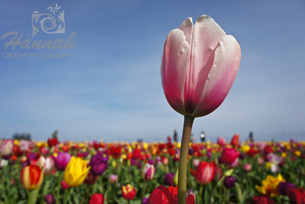 "Pink tulip standing in a variety of mixed tulips Breed: Ollioules... a dusty-pink with a wide, lighter pink edge... very popular as a cut flower and a good naturalizer... height - 22""  © Copyright Hannah Pastrana Prieto"