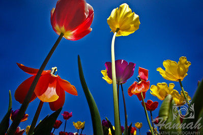 Colorful tulips in low angle shot  © Copyright Hannah Pastrana Prieto