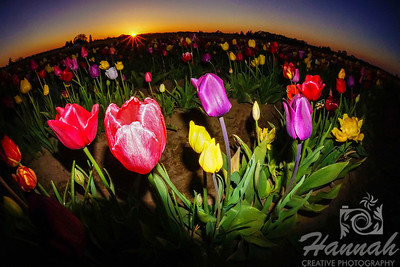 Close-up of colorful tulips during sunset taken at Wooden Shoe Tulip Farm in Woodburn, OR  © Copyright Hannah Pastrana Prieto