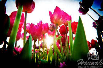Pink tulips in backlighting and low angle shot taken at Wooden Shoe Tulip Farm in Woodburn, OR  © Copyright Hannah Pastrana Prieto