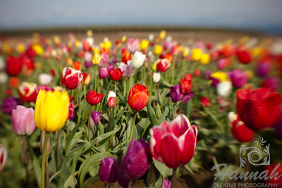 Tulip field mix shot with the Lensbaby Composer  © Copyright Hannah Pastrana Prieto