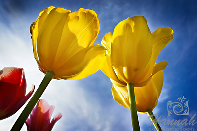 Yellow tulips in low angle shot  © Copyright Hannah Pastrana Prieto
