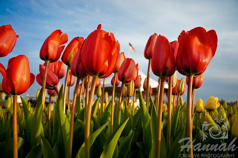 Rows of red tulips with the U.S. flag at the background   © Copyright Hannah Pastrana Prieto