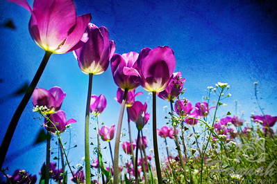 Rows of tall purple tulips with textured effect  © Copyright Hannah Pastrana Prieto