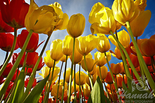 Colorful tulips in low angle shot taken at Wooden Shoe Tulip Farm in Woodburn, OR  © Copyright Hannah Pastrana Prieto