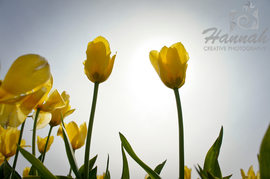 Tall yellow tulips with backlighting effect and low-angle shot  © Copyright Hannah Pastrana Prieto