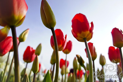 Tall red yellow tulips in a low angle soft focus shot  © Copyright Hannah Pastrana Prieto