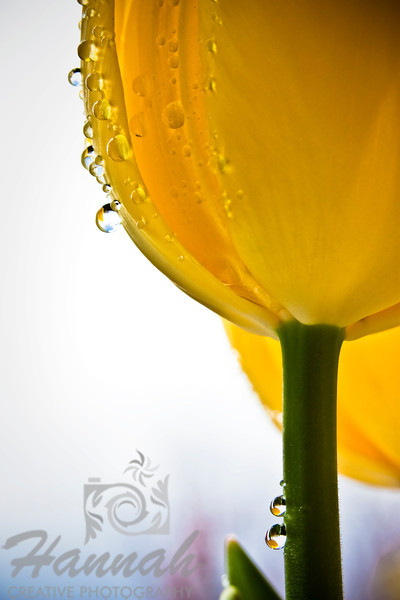 Yellow tulip with water droplets in bottom view  © Copyright Hannah Pastrana Prieto