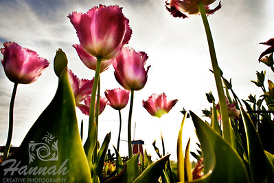 Pink tulips in backlighting and low angle shot with the windmill at the background taken at Wooden Shoe Tulip Farm in Woodburn, OR  © Copyright Hannah Pastrana Prieto