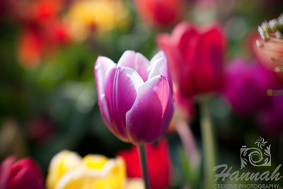 """Purple-violet tulip shot with the Lensbaby Composer Breed: Cracker... deep purple-violet, edged white, a very striking combination... height - 16""""  © Copyright Hannah Pastrana Prieto"""