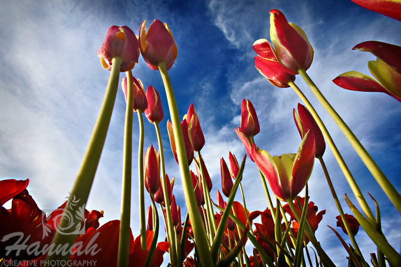 Tall red and yellow tulips in low angle shot taken at Wooden Shoe Tulip Farm in Woodburn, OR  © Copyright Hannah Pastrana Prieto