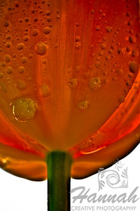 Orange tulip with water droplets bottom view  © Copyright Hannah Pastrana Prieto