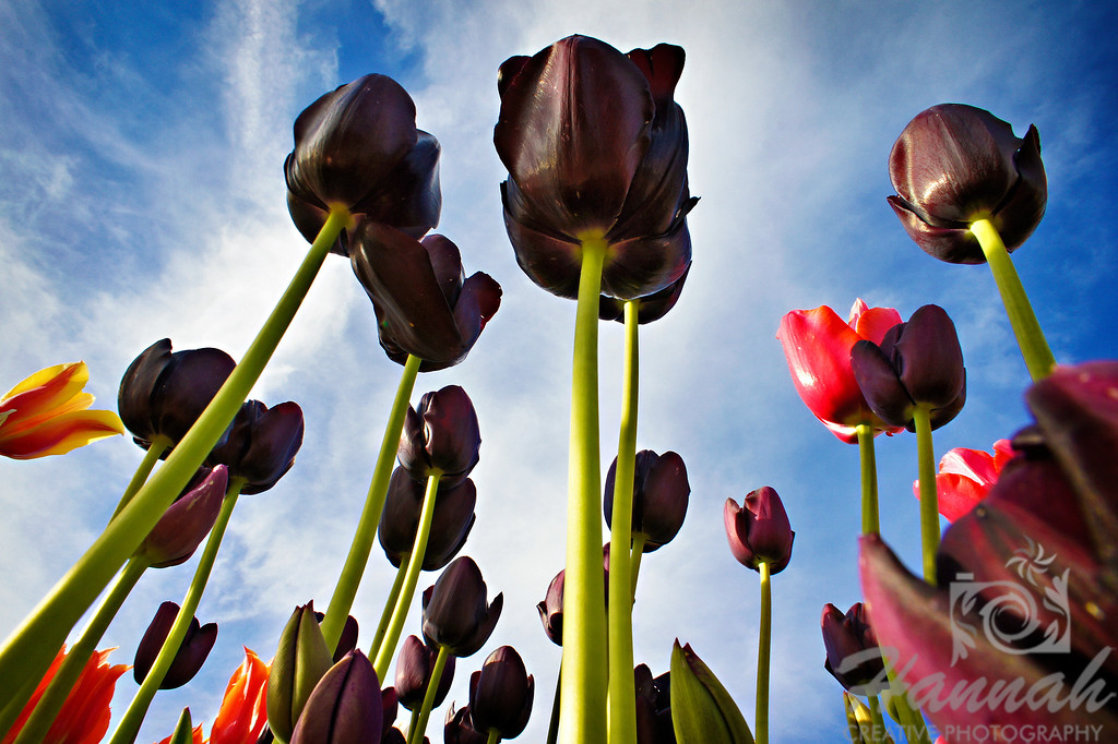 Purple and red tulips in low angle shot taken at Wooden Shoe Tulip Farm in Woodburn, OR  © Copyright Hannah Pastrana Prieto