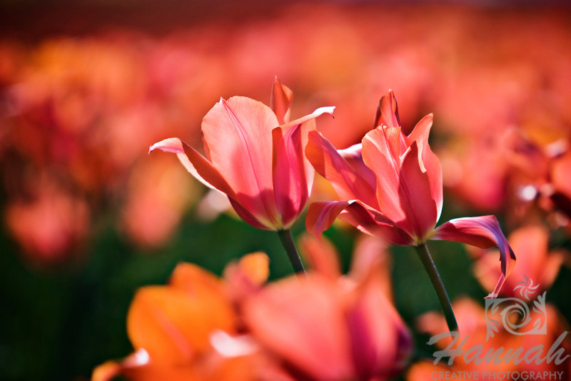 Close-up of some red orange tulips taken at Wooden Shoe Tulip Farm in Woodburn, OR  © Copyright Hannah Pastrana Prieto