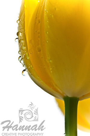 Yellow tulip with water droplets low-angle  © Copyright Hannah Pastrana Prieto
