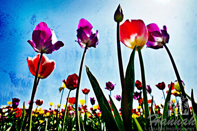 Colorful tulips with textured effect  © Copyright Hannah Pastrana Prieto