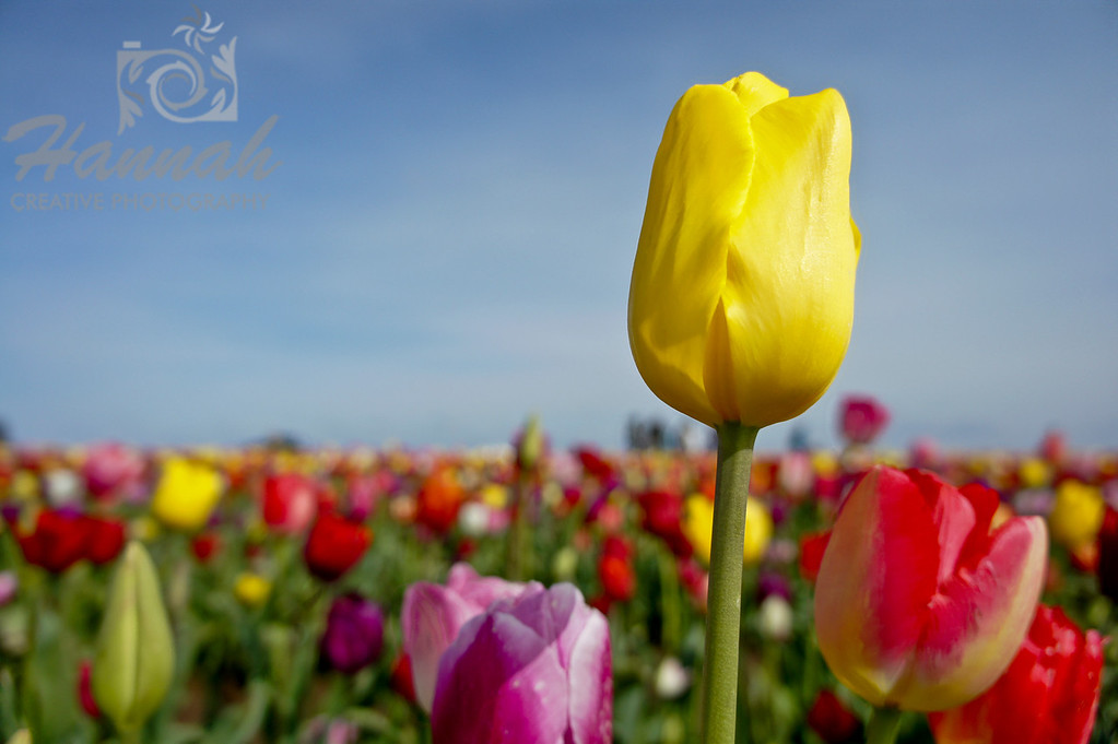"""Yellow tulip standing in a variety of mixed tulips Breed: Caractere... a truly bright yellow... height- 16""""  © Copyright Hannah Pastrana Prieto"""