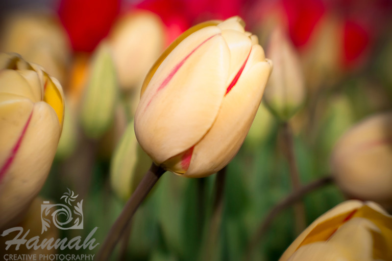 Tulip flower shot with the Lensbaby Composer  © Copyright Hannah Pastrana Prieto