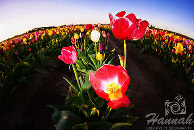 Close-up of red tulips taken at Wooden Shoe Tulip Farm in Woodburn, OR  © Copyright Hannah Pastrana Prieto