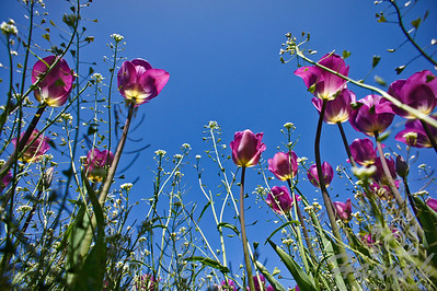 Rows of tall purple tulips   © Copyright Hannah Pastrana Prieto