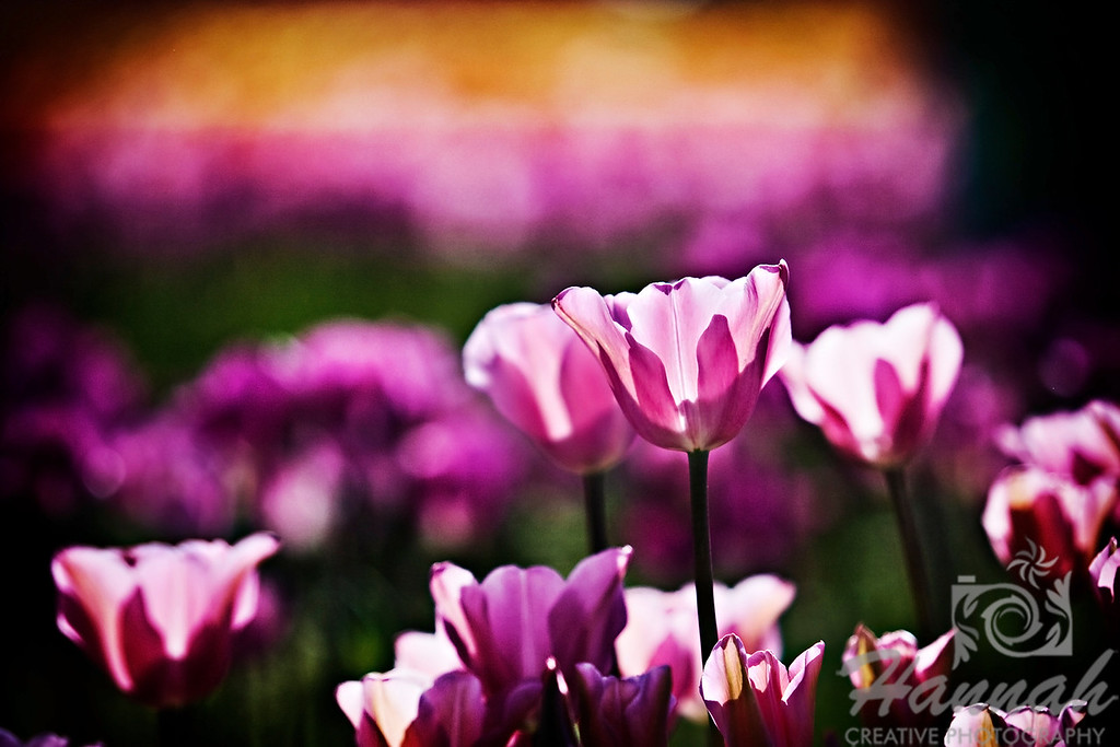 Close-up of some pink tulips with white streaks taken at Wooden Shoe Tulip Farm in Woodburn, OR  © Copyright Hannah Pastrana Prieto