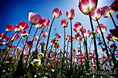 Rows of tall pink tulips   © Copyright Hannah Pastrana Prieto