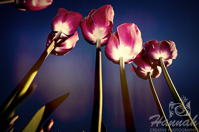 Pink tall tulips in low angle shot taken at Wooden Shoe Tulip Farm in Woodburn, OR  © Copyright Hannah Pastrana Prieto