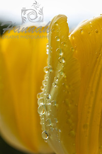 Yellow tulip petal with water droplets  © Copyright Hannah Pastrana Prieto