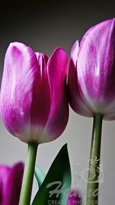 Pink tulips  © Copyright Hannah Pastrana Prieto