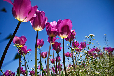 Rows of tall purple tulips   © Copyright Hannah Pastrana Prieto