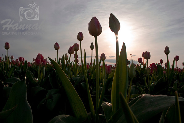 Pink tulips in backlighting and low angle shot  © Copyright Hannah Pastrana Prieto