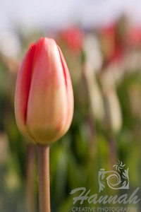 Tulip bud shot with the Lensbaby Composer for that soft focus effect  © Copyright Hannah Pastrana Prieto