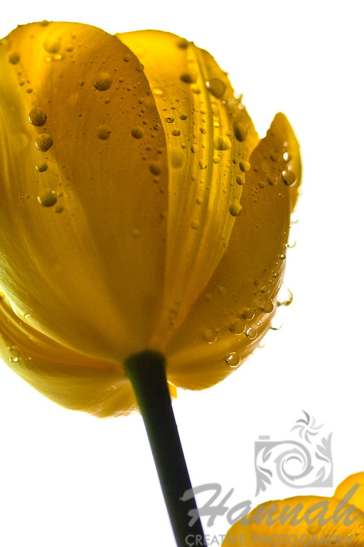 Yellow tulip with water droplets bottom view  © Copyright Hannah Pastrana Prieto