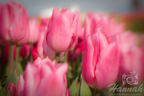 "Pink tulips shot with the Lensbaby Composer for soft blur effect breed: Pink Impression... large stately pink that naturalizes well.  A closer inspection of the flower reveals the many shades of rose and salmon... height - 22""  © Copyright Hannah Pastrana Prieto"