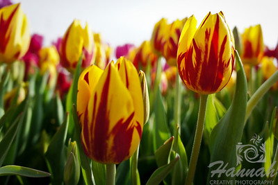 "Red and yellow tulips Breed: Mickey Mouse... one of my favorites... a beautiful bright yellow flower flamed with red... height - 14""  © Copyright Hannah Pastrana Prieto"