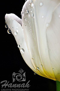 Macro shot of a white tulip with water droplets  © Copyright Hannah Pastrana Prieto