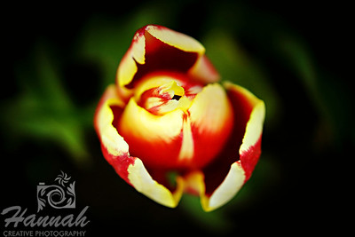 Close-up of the top of a yellow with red streaks tulip taken at Wooden Shoe Tulip Farm in Woodburn, OR  © Copyright Hannah Pastrana Prieto