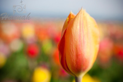 "Red-orange tulip shot with Lensbaby Composer Breed: Annie Schilder... a strong red-orange with a lighter orange edge... height - 16""  © Copyright Hannah Pastrana Prieto"