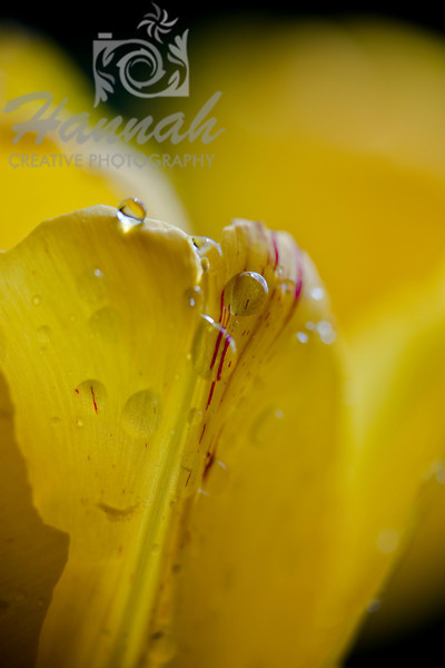 Yellow tulip with water droplets and red streak in the middle  © Copyright Hannah Pastrana Prieto