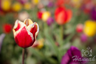 "Red tulip shot with the Lensbaby Composer breed: Leen Van Deer Mark... rich cardinal red, edged in butter cream.  The edges turn white as the flower matures... height - 20""  © Copyright Hannah Pastrana Prieto"