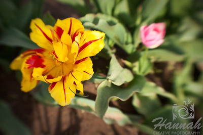 "Opened tulip shot with the Lensbaby Composer Breed: Mickey Mouse... shown here is the matured open flower... one of my favorites... a beautiful bright yellow flower flamed with red... height - 14""  © Copyright Hannah Pastrana Prieto"