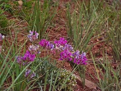 McCullough Peak Wildflowers,