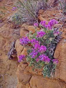 McCullough Peak Wildflowers,