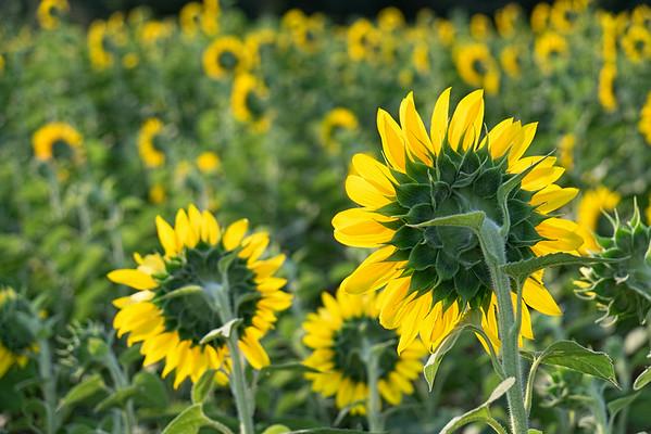 Sunflowers, Alpharetta, GA