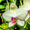 Phalaenopsis Hybrid Orchid