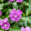 Rosy Periwinkle or Ushamalari Flower