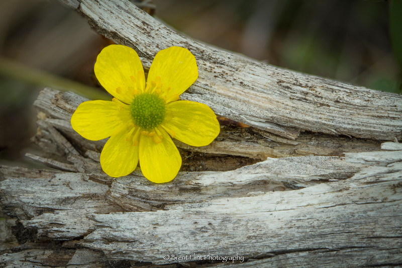 DF.5089 - Buttercup blossom lodged in a piece of wood, Bonner County, ID.