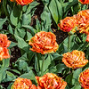 Fringed Peony-Flowered Tulips