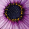 Wwater Drops on Purple Daisy
